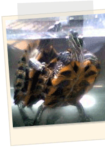 Good old fashioned turtle love.
